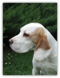 Beagle-Zucht-Brigitta-Erhart-beagle-Fenimores-amazing-amber-