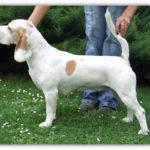 Beagle-Zucht-Brigitta-Erhart-beagle-Fenimores-amazing-amber-1