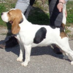 Beagle-Zucht-Brigitta-Erhart-beagle-Franca-sammys-tocher-1