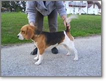 Beagle-Zucht-Brigitta-Erhart-beagle-Liz-Lukiers-tocher-1