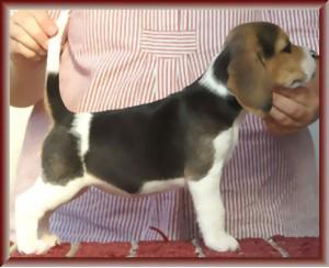 Beagle-Zucht-Brigitta-Erhart-beagle-Liz-Lukiers-tocher-2