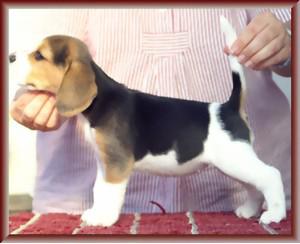 Beagle-Zucht-Brigitta-Erhart-beagle-Liz-Lukiers-tocher-3