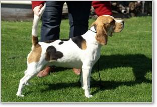 Beagle-Zucht-Brigitta-Erhart-beagle-Mona-Carmelots-tochter-1