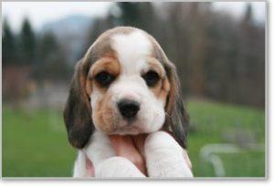 Beagle-Zucht-Brigitta-Erhart-beagle-Mona-Carmelots-tochter-2