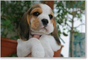 Beagle-Zucht-Brigitta-Erhart-beagle-Mona-Carmelots-tochter-3