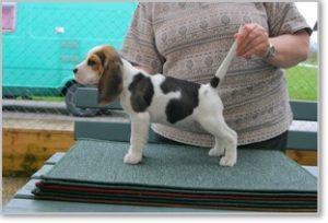 Beagle-Zucht-Brigitta-Erhart-beagle-Mona-Carmelots-tochter-5