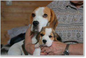 Beagle-Zucht-Brigitta-Erhart-beagle-Mona-Carmelots-tochter-6