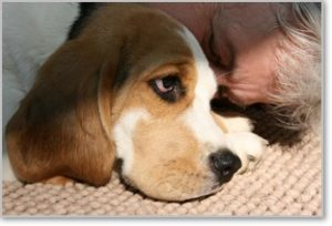 Beagle-Zucht-Brigitta-Erhart-beagle-Mona-Carmelots-tochter-7