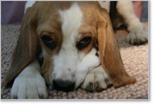 Beagle-Zucht-Brigitta-Erhart-beagle-Mona-Carmelots-tochter-8