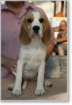 Beagle-Zucht-Brigitta-Erhart-beagle-Mona-Carmelots-tochter-9