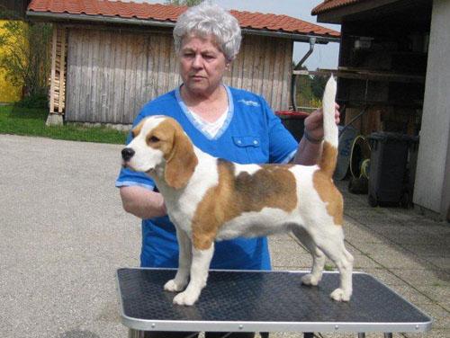 Beagle-Zucht-Brigitta-Erhart-beagle-Sopwith-Camels-Tinker-Bell-1