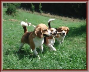 Beagle-Zucht-Brigitta-Erhart-urlaubsbetreuung