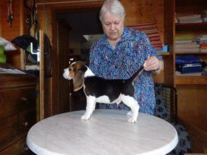 Beagle-Zucht-Oesterreich-Brigitta-Erhart-Wurf-A-5-Archie-2